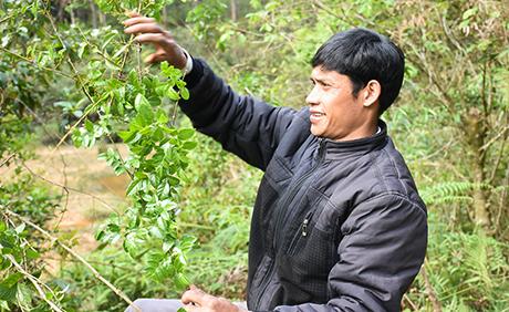Loài cây dại quý hiếm được ví như thần dược dấu mình ở Kon Plông